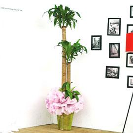 [화분강력추천] 행운목小 꽃배달하시려면 이미지를 클릭해주세요