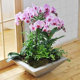 자연이 가득한 공간! - 루치아 핑크 호접란 꽃배달하시려면 이미지를 클릭해주세요