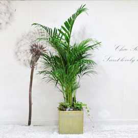 집안의 작은 숲 - 아레카야자(화분단종으로 변경됩니다) 꽃배달하시려면 이미지를 클릭해주세요