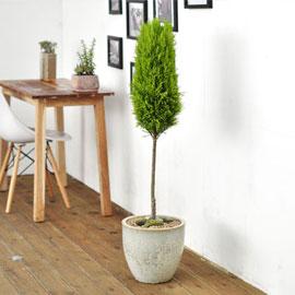 공간에 멋을 살려주는 - 율마(대) 꽃배달하시려면 이미지를 클릭해주세요