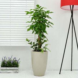 강력추천 개업선물 - 웰빙 녹보수B 꽃배달하시려면 이미지를 클릭해주세요
