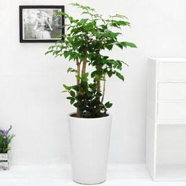 강력추천 개업선물 - 웰빙 녹보수 C 꽃배달하시려면 이미지를 클릭해주세요