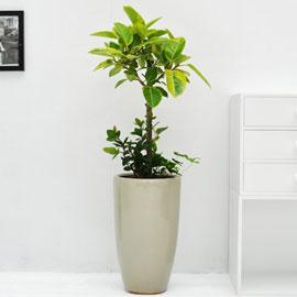 강력추천 개업선물 - 웰빙 뱅갈고무나무 꽃배달하시려면 이미지를 클릭해주세요