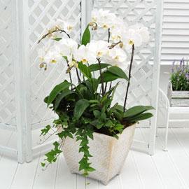 보내시는분의 품격!! - 플라워119 백색호접란 꽃배달하시려면 이미지를 클릭해주세요