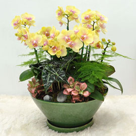보내시는분의 품격!! - 플라워119 노랑호접란 꽃배달하시려면 이미지를 클릭해주세요