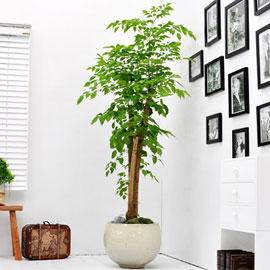 공간에 멋을 살려주는 - 녹보수(대) 꽃배달하시려면 이미지를 클릭해주세요