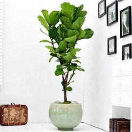 공간에 멋을 살려주는 - 떡갈고무나무(대) *화기 품절로 다른 화기로 변경됨* 꽃배달하시려면 이미지를 클릭해주세요