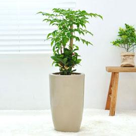강력추천 개업선물 - 싱그러운 녹보수 꽃배달하시려면 이미지를 클릭해주세요