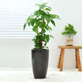 강력추천 개업선물 - 검은 화기에 심은 녹보수 꽃배달하시려면 이미지를 클릭해주세요