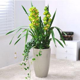 겨울에 아름다운 꽃을 피우는 심비디움_green(소) 꽃배달하시려면 이미지를 클릭해주세요