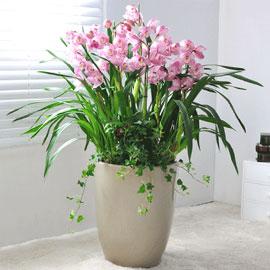 겨울에 아름다운 꽃을 피우는 심비디움_pink(대) 꽃배달하시려면 이미지를 클릭해주세요