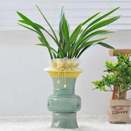 웅장한 난엽이 인상적인 동양난( 금화산 ) 꽃배달하시려면 이미지를 클릭해주세요