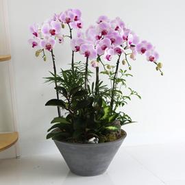 Office&Nature - 원형 화기에 심은 핑크호접