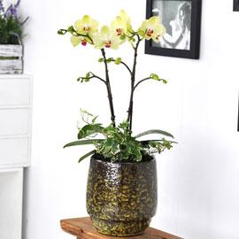 [수도권 배송]고급 화기에 심은 포춘 꽃배달하시려면 이미지를 클릭해주세요