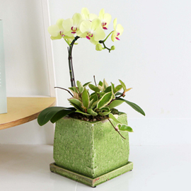 [수도권배송] Office&Nature -초록화분에 심은 포춘[화기변경} 꽃배달하시려면 이미지를 클릭해주세요