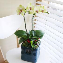 파란 화기에 심은 포춘(화기가 변경 될 수 있습니다) 꽃배달하시려면 이미지를 클릭해주세요