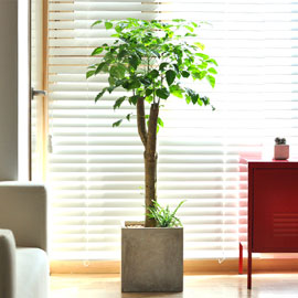개업식을 빛내주는 인테리어 만점 - 녹보수 꽃배달하시려면 이미지를 클릭해주세요