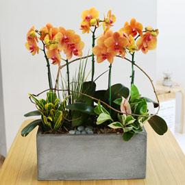 집안의 작은 정원- 주황호접란 꽃배달하시려면 이미지를 클릭해주세요