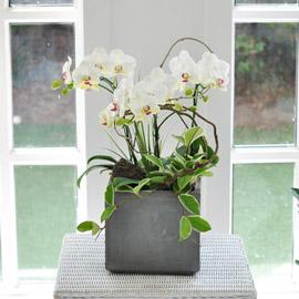 집안의 작은 정원 - 스노우포춘 꽃배달하시려면 이미지를 클릭해주세요