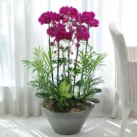 [인사이동 추천 서양란]핑크호접란 꽃배달하시려면 이미지를 클릭해주세요