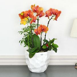 흰색 고급화기의 주황호접 꽃배달하시려면 이미지를 클릭해주세요