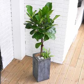 Office&Nature - FRP화분의 떡갈고무나무 꽃배달하시려면 이미지를 클릭해주세요