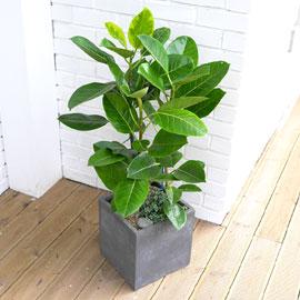 Office&Nature - FRP화분의 뱅갈고무나무 꽃배달하시려면 이미지를 클릭해주세요