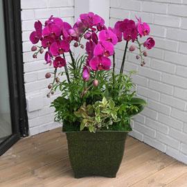 Office&Nature - 선이 아름다운 핑크호접란 꽃배달하시려면 이미지를 클릭해주세요