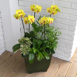 Office&Nature - 나비를 닮은 호접란 썬셋 꽃배달하시려면 이미지를 클릭해주세요