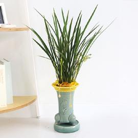 Office&Nature - 곧은 난잎을 가진 금침 꽃배달하시려면 이미지를 클릭해주세요