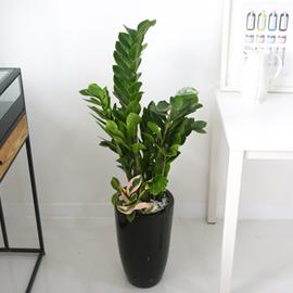 Office&Nature - 동전모양의 잎을가진 금전수 꽃배달하시려면 이미지를 클릭해주세요