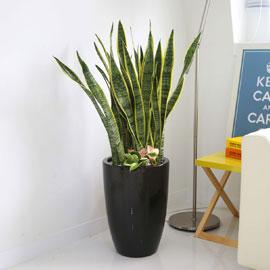 Office&Nature - 공기정화가 되는 산세베리아(중) 꽃배달하시려면 이미지를 클릭해주세요