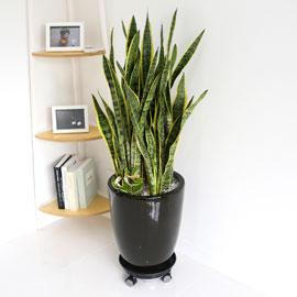 Office&Nature - 공기정화가 되는 산세베리아(대) 꽃배달하시려면 이미지를 클릭해주세요