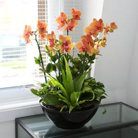 검정화기의 주황호접란 (대) 꽃배달하시려면 이미지를 클릭해주세요