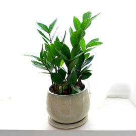 [수도권배송] 공기정화식물 - 금전수B ***화기변경*** 꽃배달하시려면 이미지를 클릭해주세요