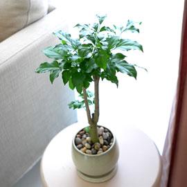 [수도권배송] 공기정화식물 - 녹보수B*화기품절로 다른화기로 변경됩니다* 꽃배달하시려면 이미지를 클릭해주세요