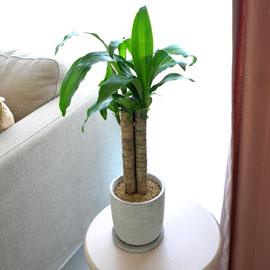 [수도권배송] 공기정화식물 - 행운목(소) 꽃배달하시려면 이미지를 클릭해주세요