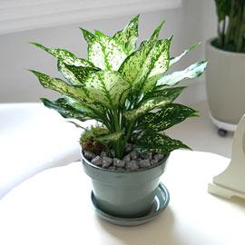 [수도권배송] 공기정화식물 - 스노우사파이어(화기품절로 다른화기로대체) 꽃배달하시려면 이미지를 클릭해주세요