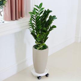 심플 관엽화분 - 금전수小 꽃배달하시려면 이미지를 클릭해주세요