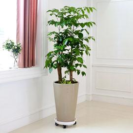 심플 관엽화분 - 녹보수 꽃배달하시려면 이미지를 클릭해주세요