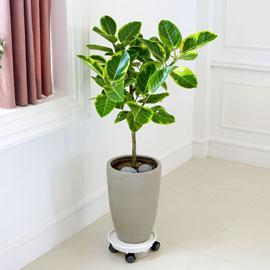 심플 관엽화분 - 뱅갈고무나무 꽃배달하시려면 이미지를 클릭해주세요