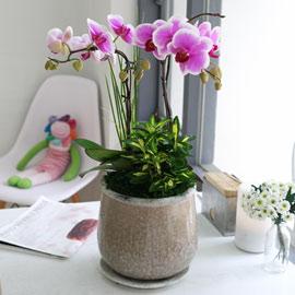아름다움이 있는 공간-연핑크호접 (* 화기 변경될수 있음) 꽃배달하시려면 이미지를 클릭해주세요