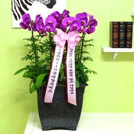 핑크호접란-잠시만요 울사장님 돈방석 받고 가실게요 꽃배달하시려면 이미지를 클릭해주세요