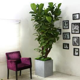 고급분에 심은 관엽화분 대품 - 떡갈나무(대품) II