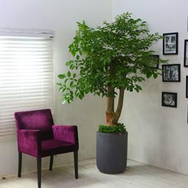 고급분에 심은 관엽화분 대품 - 해피트리(대품) 꽃배달하시려면 이미지를 클릭해주세요