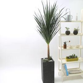 nature & foliage plant _ 강한 멋을 뽑내는 드라코 (大) 꽃배달하시려면 이미지를 클릭해주세요