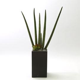 nature & foliage plant _  깔끔한 매력의 스투키 꽃배달하시려면 이미지를 클릭해주세요