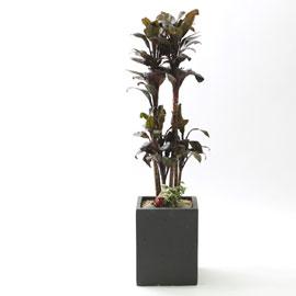 nature & foliage plant _ 튼튼하고 우아한 퍼플콤팩타 (小) 꽃배달하시려면 이미지를 클릭해주세요