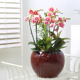 Office & Nature - 아름다운 황금나비 (* 화기 변동 될수 있습니다.) 꽃배달하시려면 이미지를 클릭해주세요