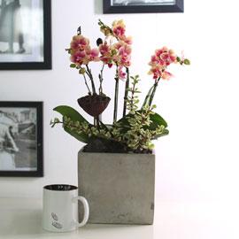 휴식이 되는 생활공간 - 브라더 걸_금나비(주황호접란) 꽃배달하시려면 이미지를 클릭해주세요